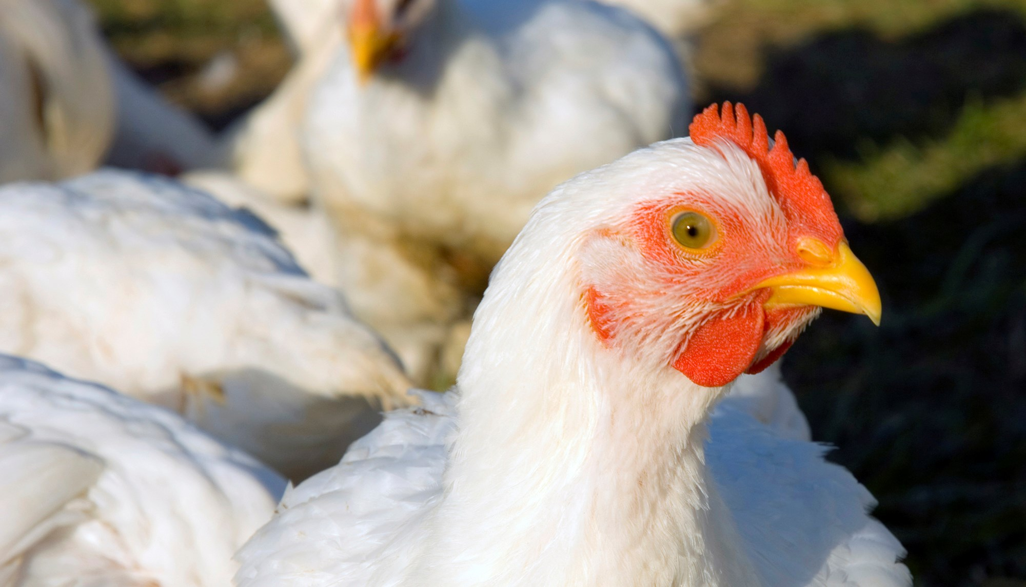 About Chickens Farmed For Meat Compassion In World Farming