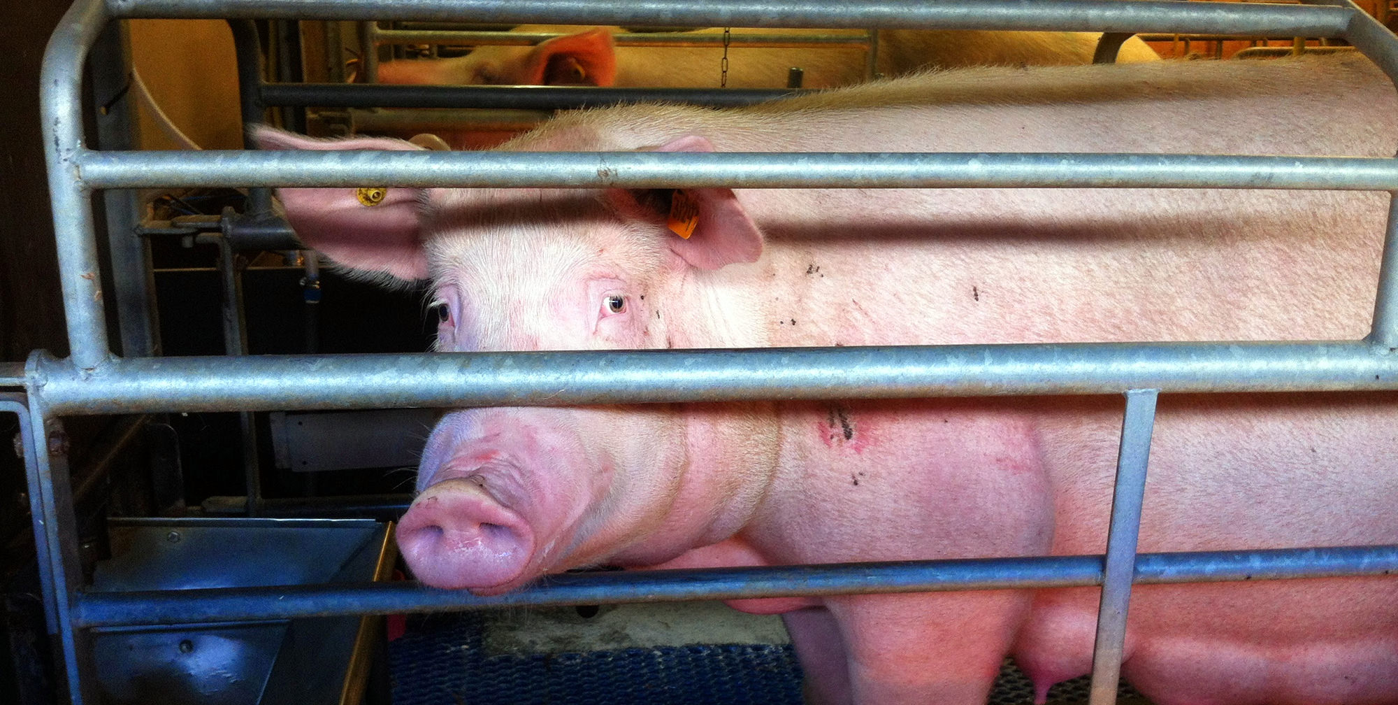 Why Does Factory Farming Still Exist Compassion In World Farming