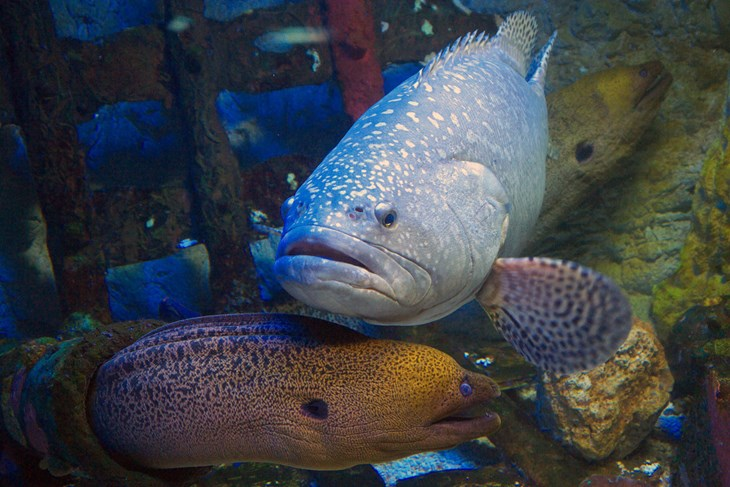 Moray Eel and Grouper fish hunting together 2000x1334.jpg
