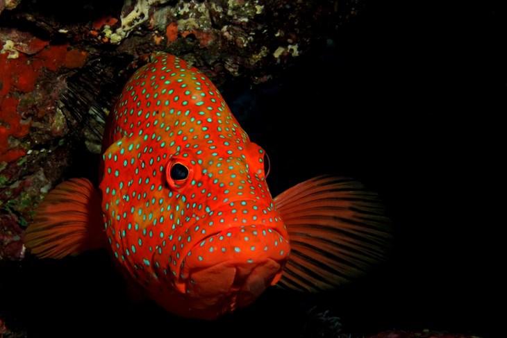 6a606e76eeb Bright orange grouper fish with blue spots in dark cave 2500x1667.jpg