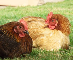 Practical Alternatives to Battery Cages for Laying Hens