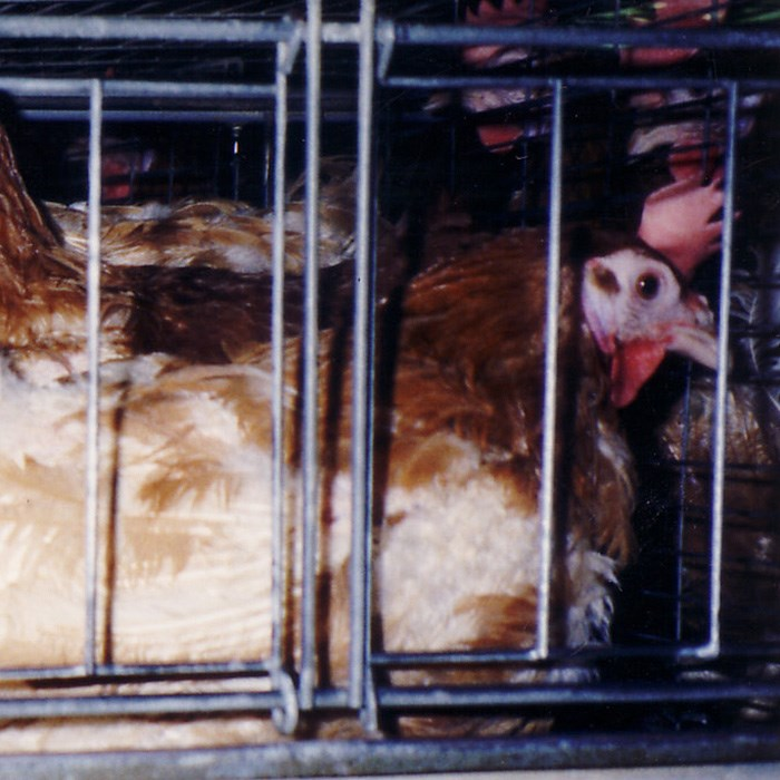 feather pecked hens in caged egg laying system
