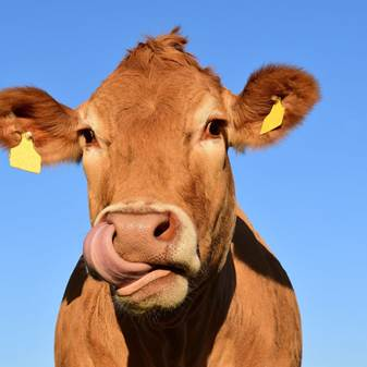 Cow with tongue out against blue sky