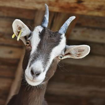 Brown and white goat closeup